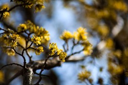 Early Spring Flowers on dogwood tree.Yellow little flowers on tiny twigs. Nobody. Close up