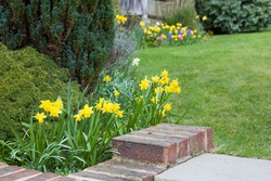 Early spring garden flowers, English garden in spring with daffodils in bloom, UK