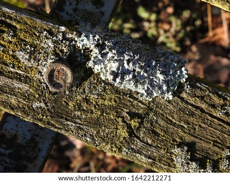 early spring mycelium of lichen growing on trees near Oliszki in the Podlasie region Zdjęcia stock ©