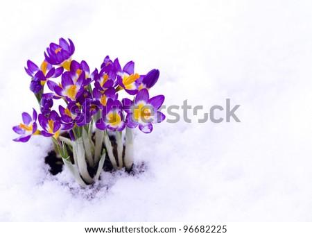Early spring purple Crocus in snow