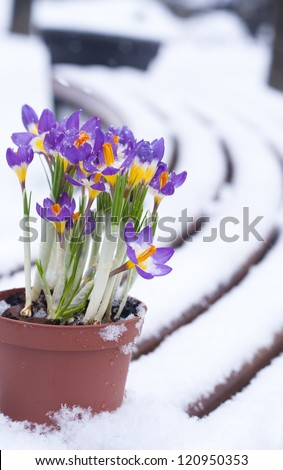 Early spring purple Crocuson the pot  in snow