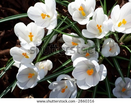 Early spring spectacle -- Crocus flowers