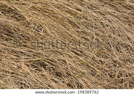 Early spring, the texture of dry last year\'s grass in the sunshine