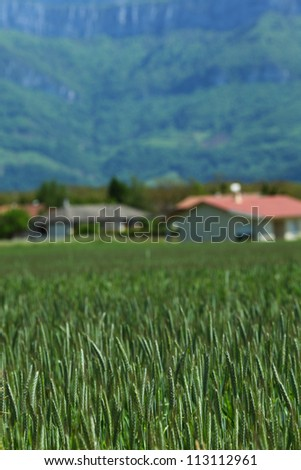 Early spring wheat field