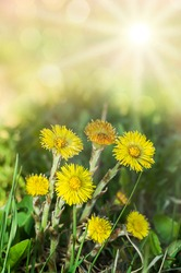 early spring yellow flowers mother and stepmother bright sun rays spring background closeup