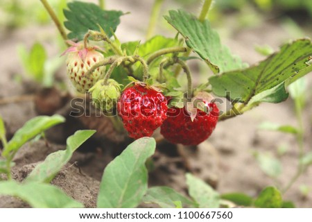 Early strawberry. Summer berries #1100667560