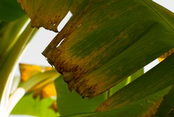 Early symptoms of Fusarium Wilt Disease in banana leaves.