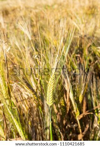 ears and barley crops #1110421685