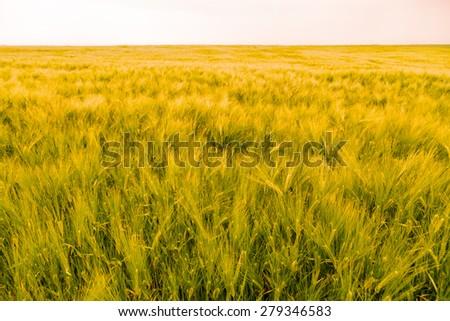 ears of barley in the field #279346583