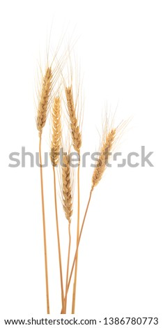 Ears of barley isolated on white. Background. Studio shot.