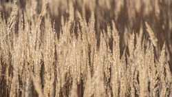 Ears of Dry Plants in Sunlight. Ears of Dry Plants in Sunlight on a Blurred Background. Winter Season. Web Banner. Natural Background.