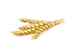 Ears of golden wheat in close- up on white background. Rich harvest Concept. Label art design