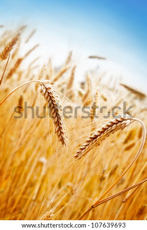 Ears of golden wheat on the background of wheat field