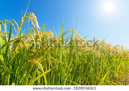 Ears of rice and blue sky. Close-up of the rice ears