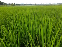 Ears of rice.  Close-up of the rice ears. Paddy field in blue sky background. Paddy, Organic Agriculture, Ears Of Rice In The Field. grain in paddy field concept. close up of  green paddy plant.