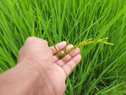 Ears of rice. Close-up of the rice ears. Paddy field in India. Paddy, Organic Agriculture, Ears Of Rice In The Field. grain in paddy field concept. close up of  green rice plant.