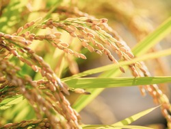 Ears of Rice Plants in Autumn or Fall Agriculture and Harvest Image