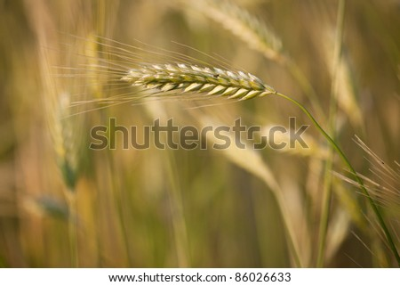 Ears of ripe barley growing in a farm field against lovely summer blue sky (shallow DOF - selective focus)