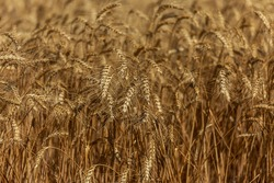 Ears of ripe ripe wheat on the field awaiting harvesting. Rural landscape of ears of yellow ripe wheat on a farm field
