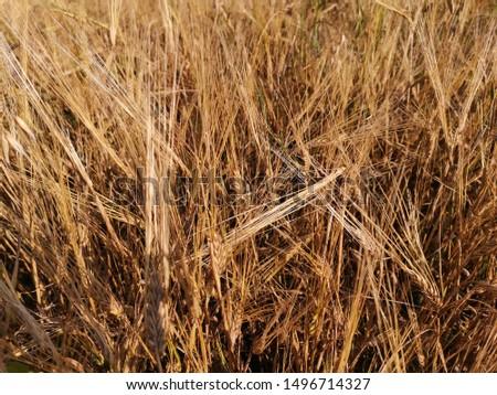 ears of ripe rye background #1496714327