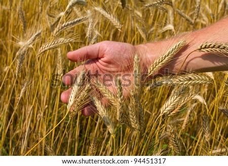 ears of ripe wheat in hand