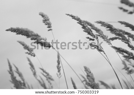 ears of wheat  #750303319