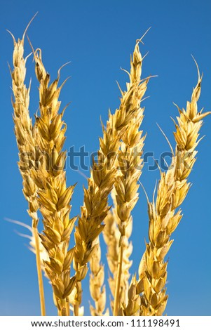 Ears of wheat against the blue sky