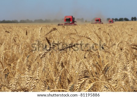 Ears of wheat against the harvesters and field, harvesting wheat, blurry