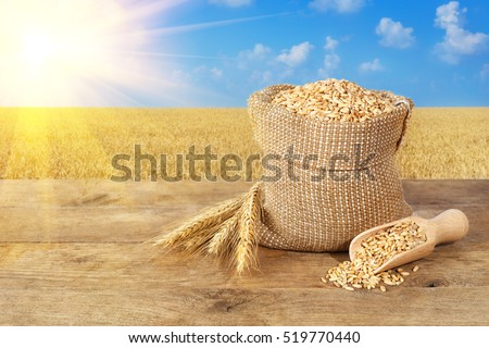 Ears of wheat and wheat grains in bag on wooden table on wheat field with sunshine background. Agriculture and harvest concept. Gold wheat field and blue sky. Harvest with copy space area for a text