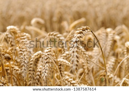 Ears of wheat in a field, ready to be harvested. #1387587614