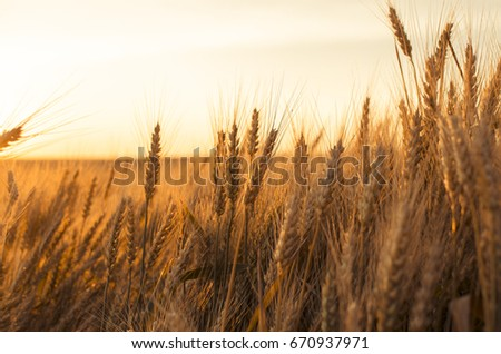 Ears of wheat in the field. backdrop of ripening ears of yellow wheat field on the sunset cloudy orange sky background.  #670937971