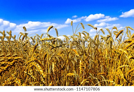 Ears of wheat in wheat field landscape. Wheat field landscape ears of wheat field. Ears of wheat field poster #1147107806
