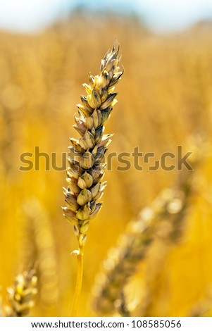 ears of wheat on a cereal box, a farmer in the summer.