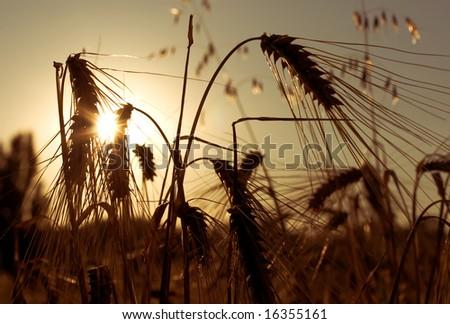 Ears of wheat on sunset