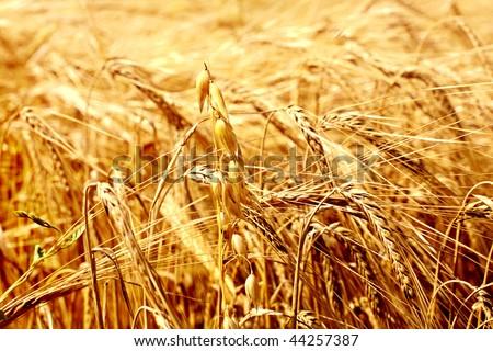 Ears on a wheaten field