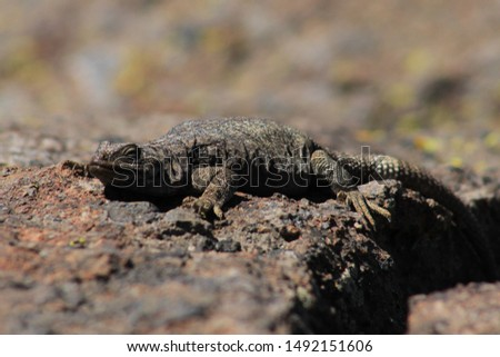 earth colored lizard on the rocks #1492151606