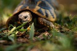 Earth turtle walking outdoors. Testudo hermanni. Selective focus on eye.