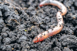 earth worm close-up in a fresh wet earth, visible rings on the body of a worm