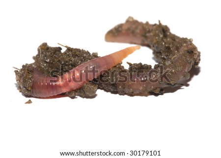 Earth Worm on white background .