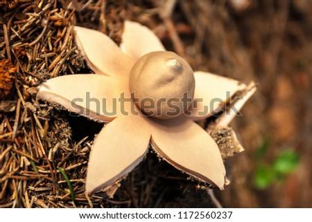 Earthstar Mushroom - Geastrum Fimbriatum in Forest