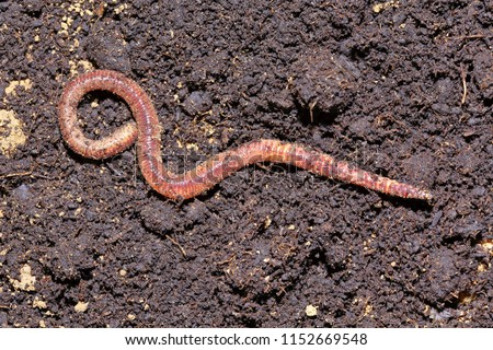 Earthworm dendrobena symbolically dissolving infinity symbol Stockfoto ©