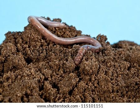 Earthworm in a heap of soil - stock photo