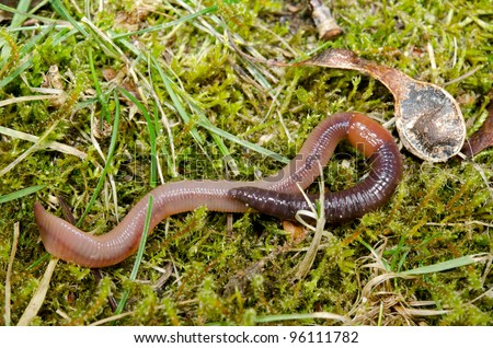 earthworm squirming on mossy lawn