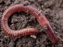 Earthworms in black soil of greenhouse. Macro Brandling, panfish, trout, tiger, red wiggler, Eisenia fetida. Garden compost and worms recycling plant waste into rich soil improver and fertilizer