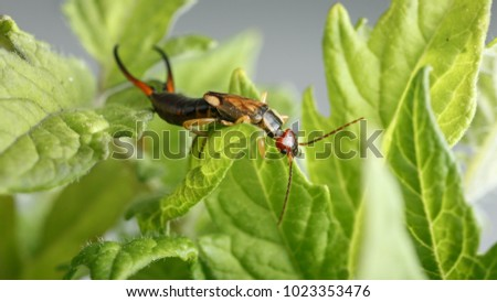 Earwig climbs on green leaves of tomato plant, on gray background. Forficula auricularia can be a problematic pest or an ally for farmers
