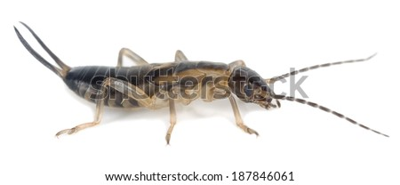 Earwig isolated on white background, extreme close-up with high magnification