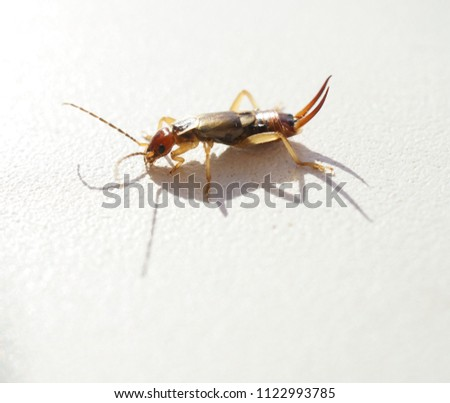 earwig on a white background macro