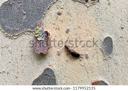 Earwigs (or forficula) and insect larvae found under the bark of a tree