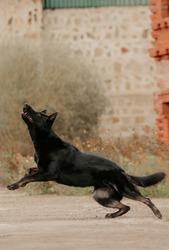 East European German Shepherd black dog on the background of the castle