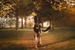 east european shepherd dog stands in the forest at sunset summer